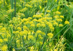Fennel (Foeniculum Vulgare) flowers in bloom with blurred background