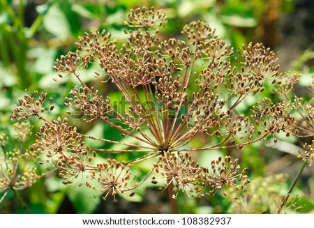 fennel seeds in the garden