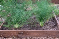 Fennels plants cultivated on raised bed are ready to be harvested