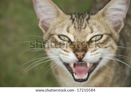 Feral boonie cat in mid meow