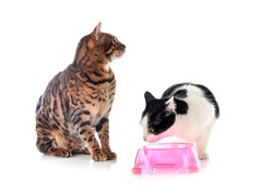 feral cat and bengal cat  in front of white background