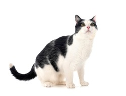 feral cat in front of white background