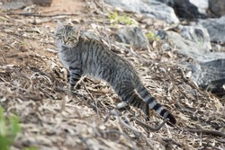 feral cat on the banks of Memindee lakes,NSW