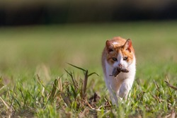 Feral cat with endemic prey in field