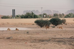 Feral dogs in Saudi village