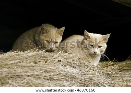 Feral Farm Cats in barn