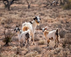 Feral Goats (Capra hircus) -  now causing environmental damage, in areas where numbers are not controlled, due to overgrazing