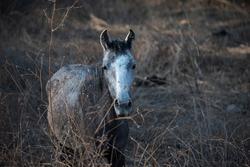 Feral grey horse in Guerrero, Mexico