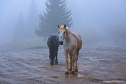 feral horses in Apuseni mountains; the animals come to villages sometimes, but they thrive living in the wild