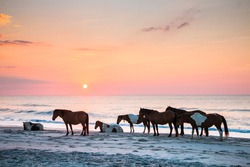 feral horses on the beach of Assateague early morning.