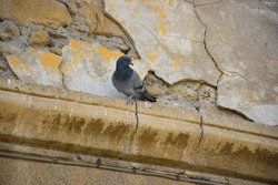 Feral Pigeon (Columba livia domestica), also called city dove, city pigeon or street pigeon, standing on the yellow wall