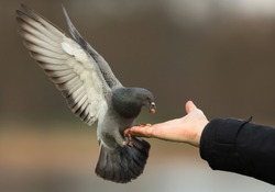 Feral pigeon landing for food on a hand.