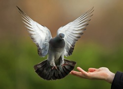 Feral pigeon landing on a hand.