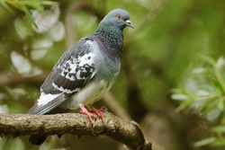 Feral Pigeon perched on the tree branch.