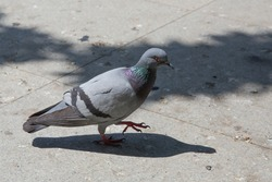 Feral pigeons, also called city doves, city pigeons, or street pigeons Doves . Pigeon walking on paving stones in the city . One dove stand up on marble wall
