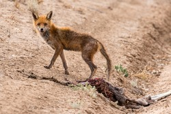 Feral Red Fox with mange feeding on road kill Red Kangaroo carcass in the Australian outback