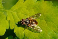 Ferdinandea (hoverfly) on a green leaf, macro. Ferdinandea is a genus of syrphid flies or hoverflies in the family Syrphidae. Place for text. Top view.