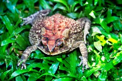 Ferguson's toad (Bufo fergusonii) in past Schneider's (dwarf) toad (Duttaphrynus scaber) amphibian to Sri Lanka and India. Picture from evergreen tropical forest of Sri Lanka