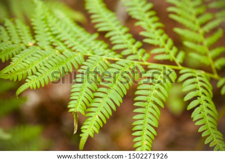 Fern. Beautiful fern. Fern leaves close up. Natural photo background. #1502271926