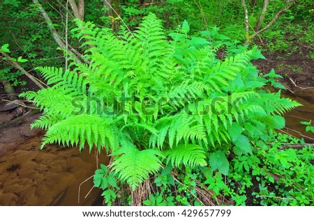 Fern growing in the forest near the creek #429657799