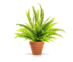 Fern in a clay pot on white background, including clipping path