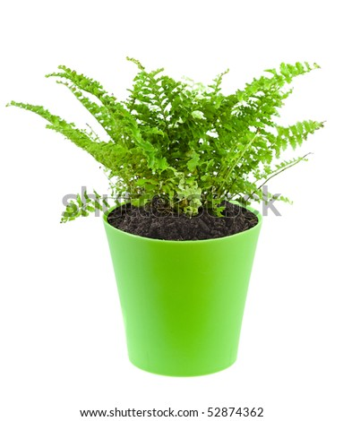 fern in a green pot isolated on white background