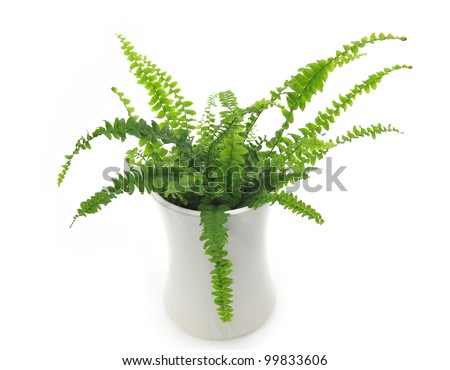 fern in a white pot isolated on white background