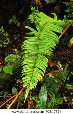 Fern in Cloud Forest, Poàs Volcano National Park, Costa Rica