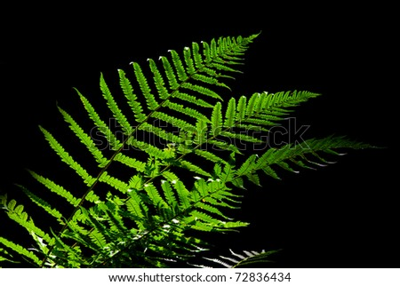 fern  in sunlight isolated on dark background