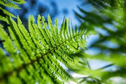 Fern in the forest against the blue sky. Flower plants outdoors. Beautiful background green and blue-green color.