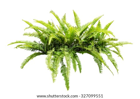 fern isolated on white...