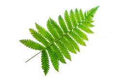 fern isolated on white background with clipping path