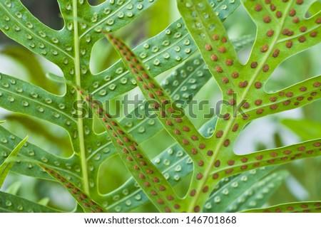 Fern leaf and spore close up.