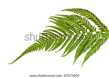 Fern leaf, isolated on white.