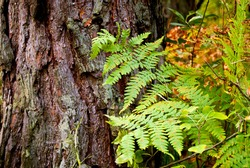 Fern leaves against old tree bark in wildn forest. Nature texture background. Green leaves close up. Autumn ferns. Abstract botanical wallpaper. Mossy tree with leaves.