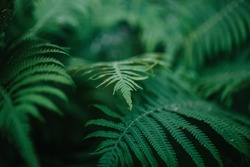 fern leaves green and macro leaves