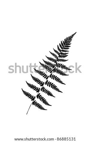 Fern leaves illustrated
