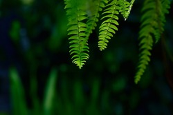 fern leaves in the sun. Natural floral fern background in sunlight. Perfect natural fern pattern. Beautiful background made with young green fern leaves. Beautiful bokeh background. DOF