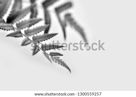 Fern leaves in the sun. Natural floral fern background in sunlight. Perfect natural fern pattern. Beautiful background made with young green fern leaves. isolated  on white. black and white photo