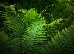 Fern leaves in tropical forest