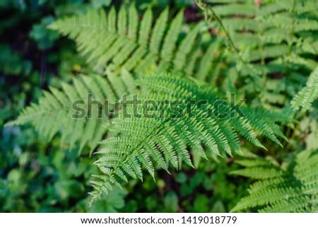 fern leaves, macro leaves, fern leaves background