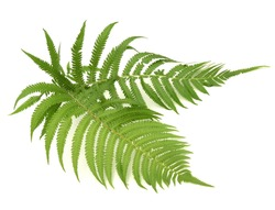 fern leaves on white background