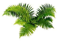 Fern plan isolated on white background.