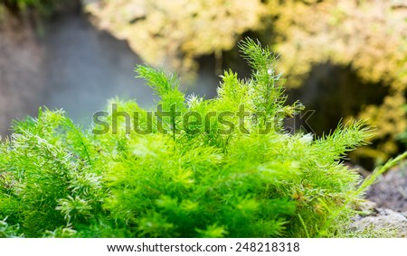 fern plant on rock,nature background.