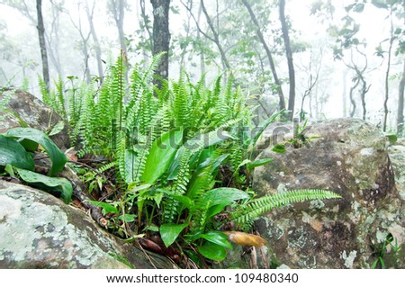Fern Plant on The Rock in Foggy Forest