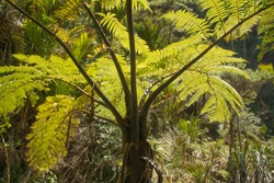Fern tree in closeup view in the dense forest of New Zealand
