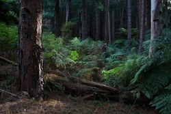 Ferns and pine in late dappled sunlight at the Hamer Forest Arboretum in Olinda in the Dandenong Ranges, Melbourne, Australia.  The image has a gentle feeling of peace and quiet, magical.