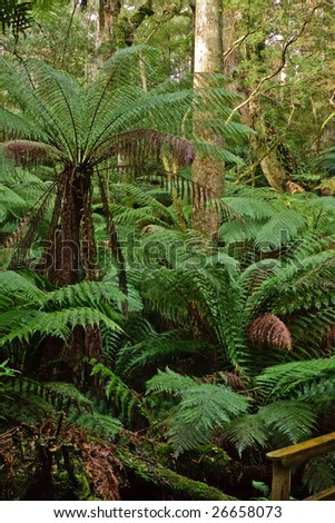 Ferns in rain forest, Australia