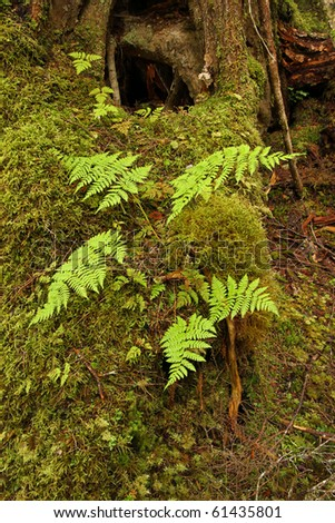 Ferns in temperate rainforest, in the Tongass National Forest, Southeast Alaska