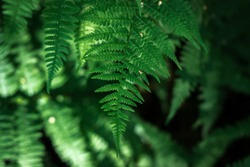 Ferns in the forest. Beautiful background of ferns green foliage leaves. Dense thickets of beautiful growing ferns in the forest. Natural floral fern background on a sunny day